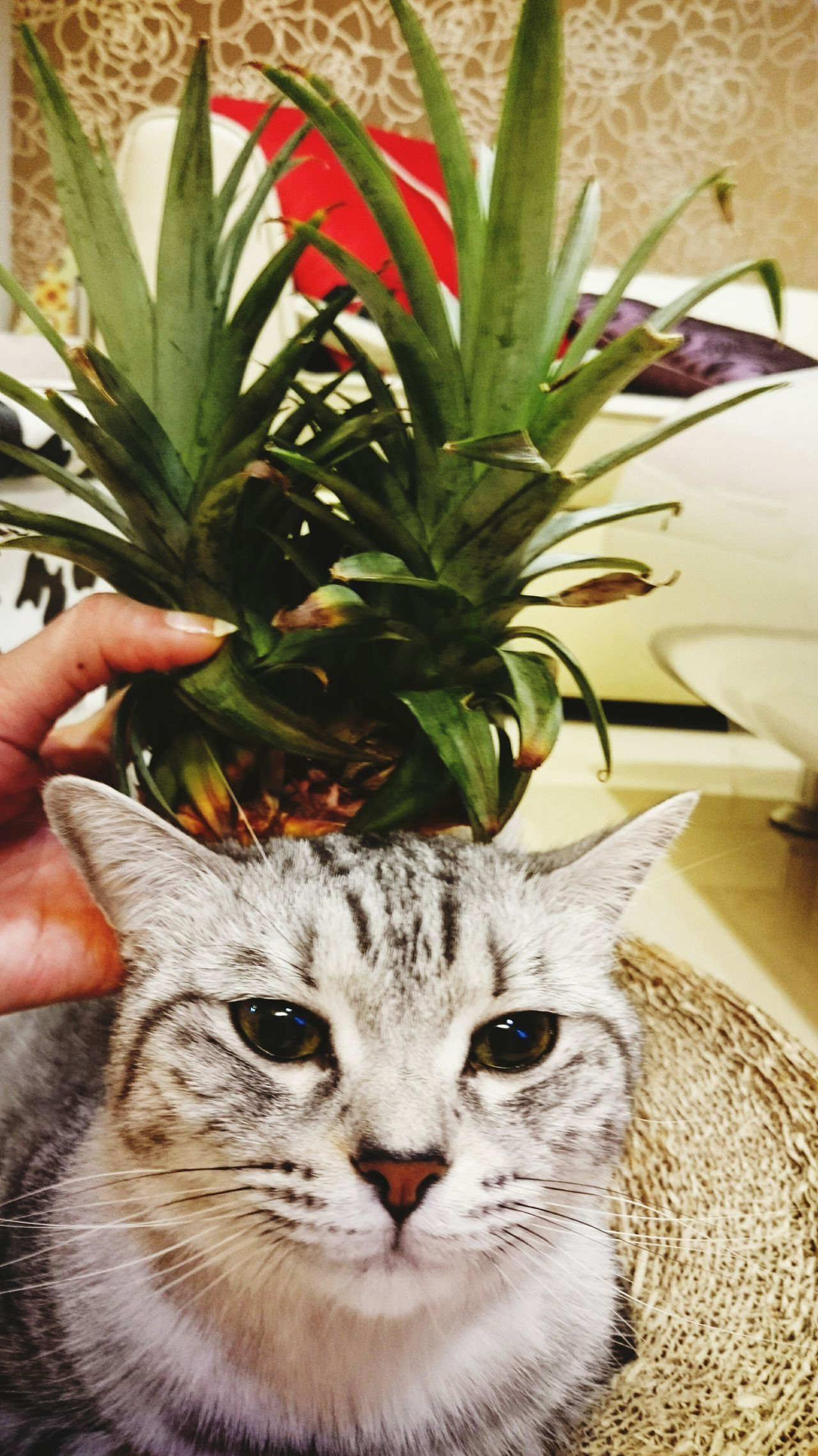 Ananas Pineapple 鳳梨 貓 猫 Cat Kawai Pet Cute♡ ねこ 🍍🍍🍍🍍🍍🍍