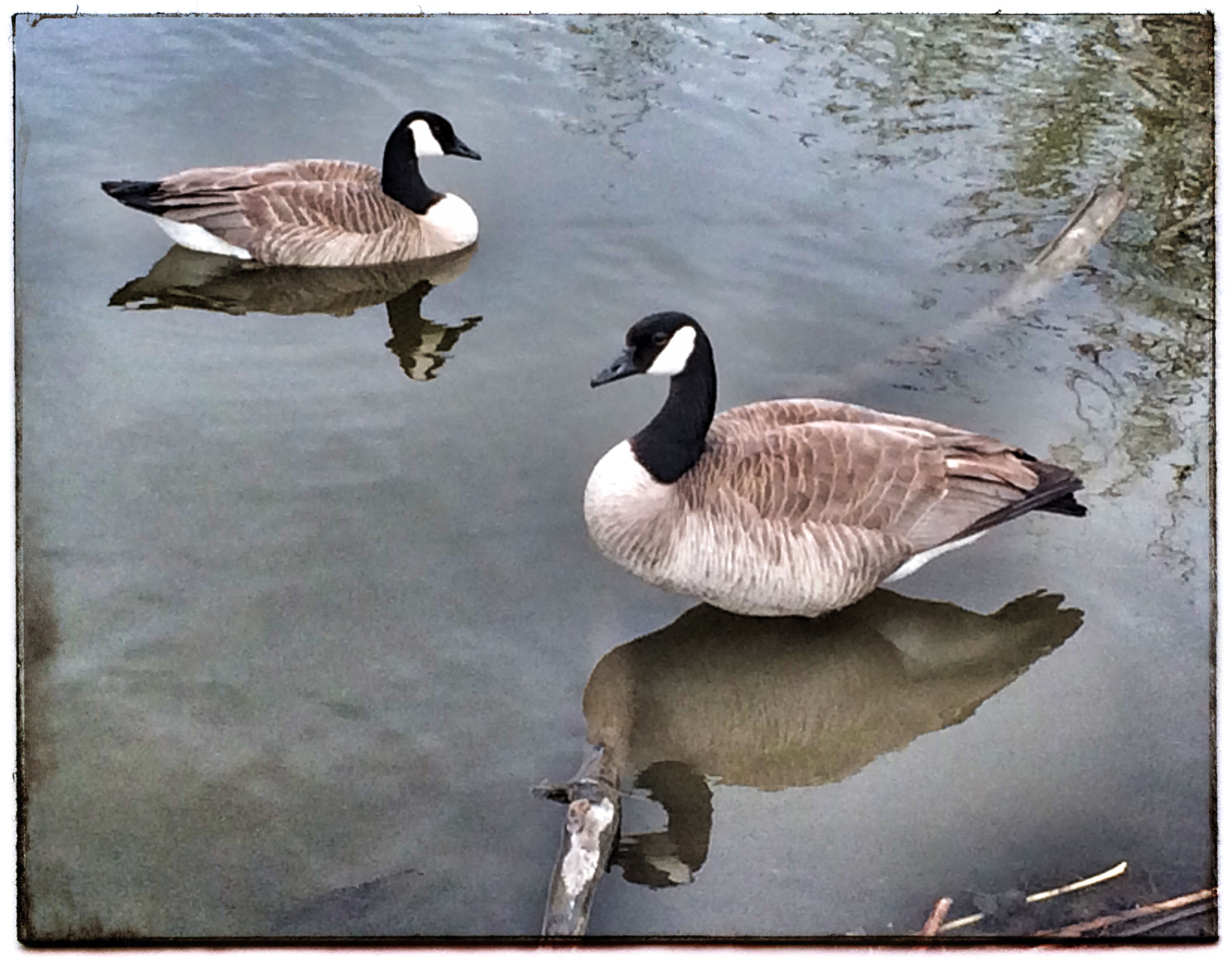 Canada Geese. Iphone 5 Photo Of The Day Photography Birds Geese