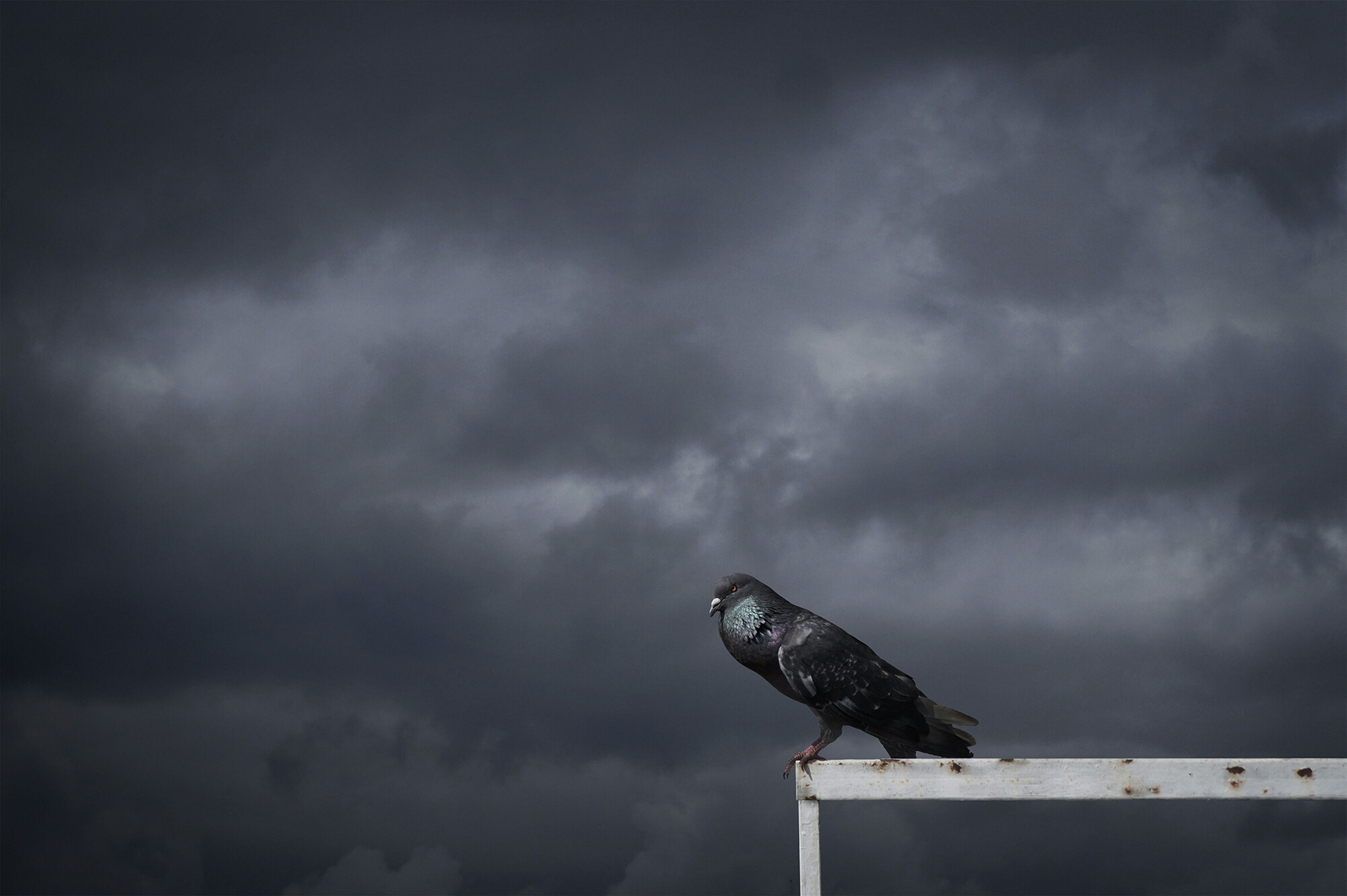 sky, cloud - sky, cloudy, weather, overcast, low angle view, animal themes, animals in the wild, bird, one animal, nature, outdoors, cloud, perching, dusk, day, storm cloud, no people, wildlife, built structure
