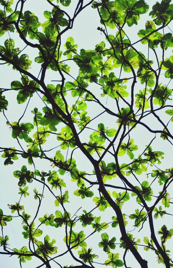 Tree Low Angle View Green Color Branch Nature Growth Leaf No People Day Outdoors Beauty In Nature Freshness Clear Sky Sky Leaves Eyeem Philippines EyeEm Gallery EyeEm Best Shots EyeEm Tree Tree Branch