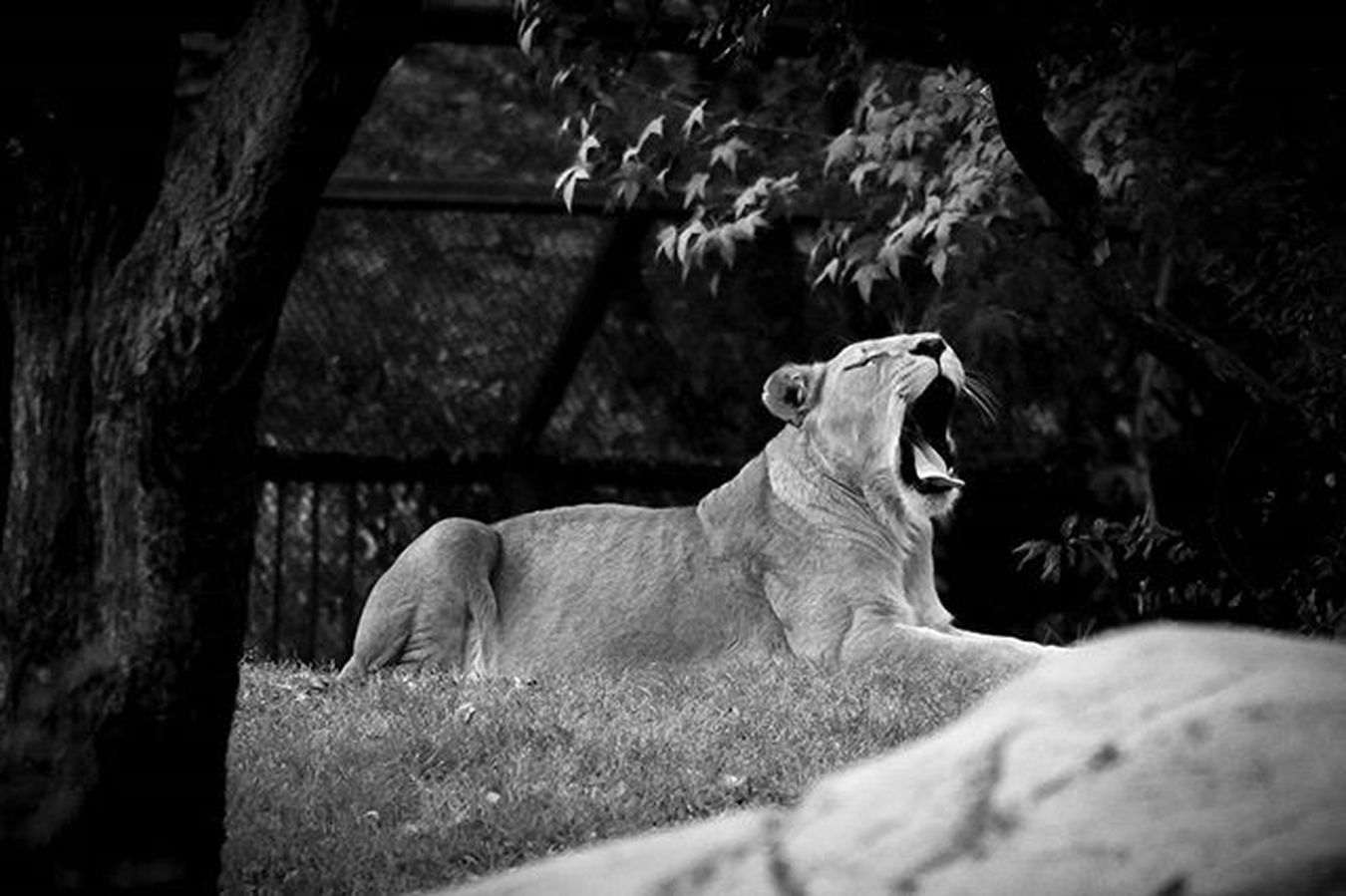 The Lion Mextagram Mexigers Instagram Instagramers Hallazgosemanal VSCO Vsvocam Canont3 CanonMexicana Canon_official Igersdf Igersmexico Igersmex Instagood Comunityfirst Primerolacomunidad Blackandwhite Blancoynegro Bnw VSCOBlack Mextagram_ojoscerrados