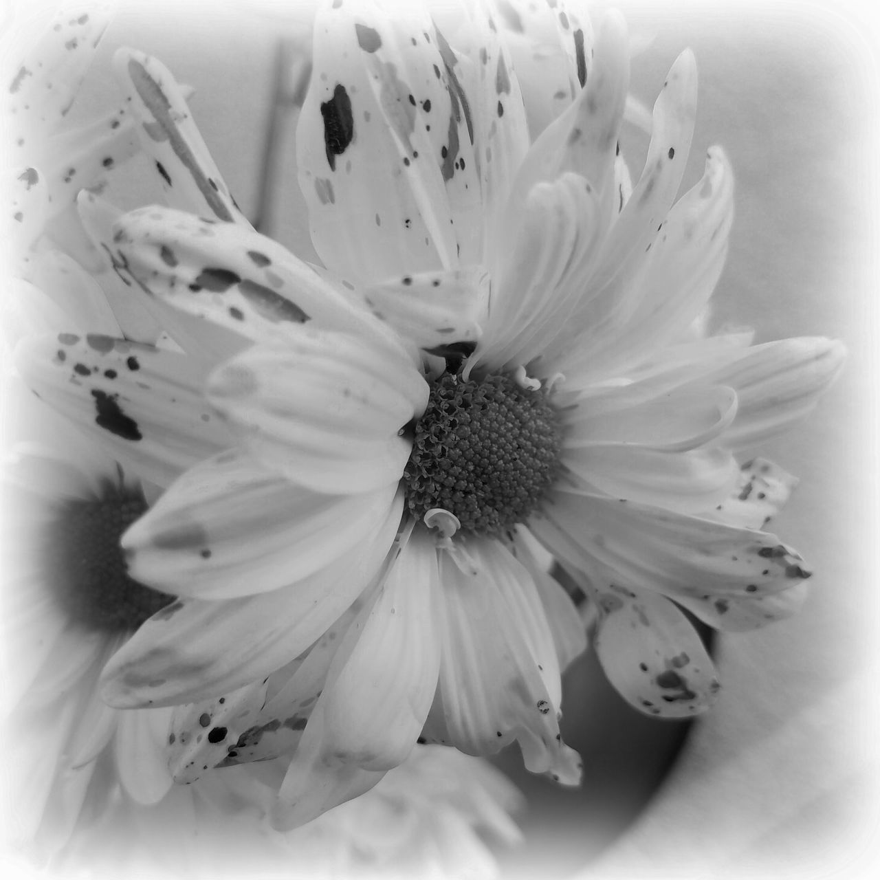 B&W Beginnings Beauty In Nature Closeu B&w Daisies Flower Fragility MUR B&W MUR On EyeEm