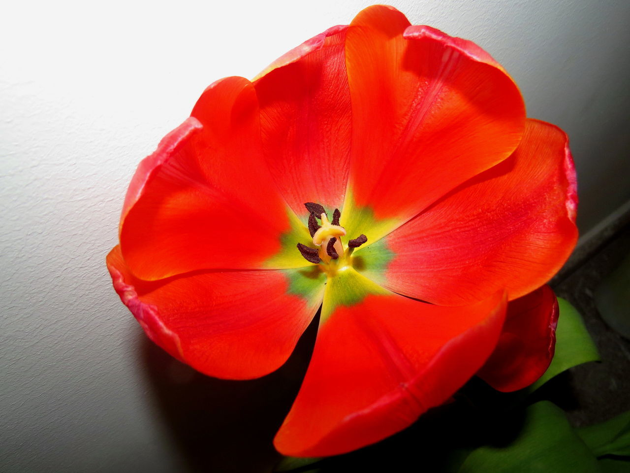 flower, petal, red, flower head, beauty in nature, plant, close-up, nature, fragility, freshness, no people, growth, day, indoors