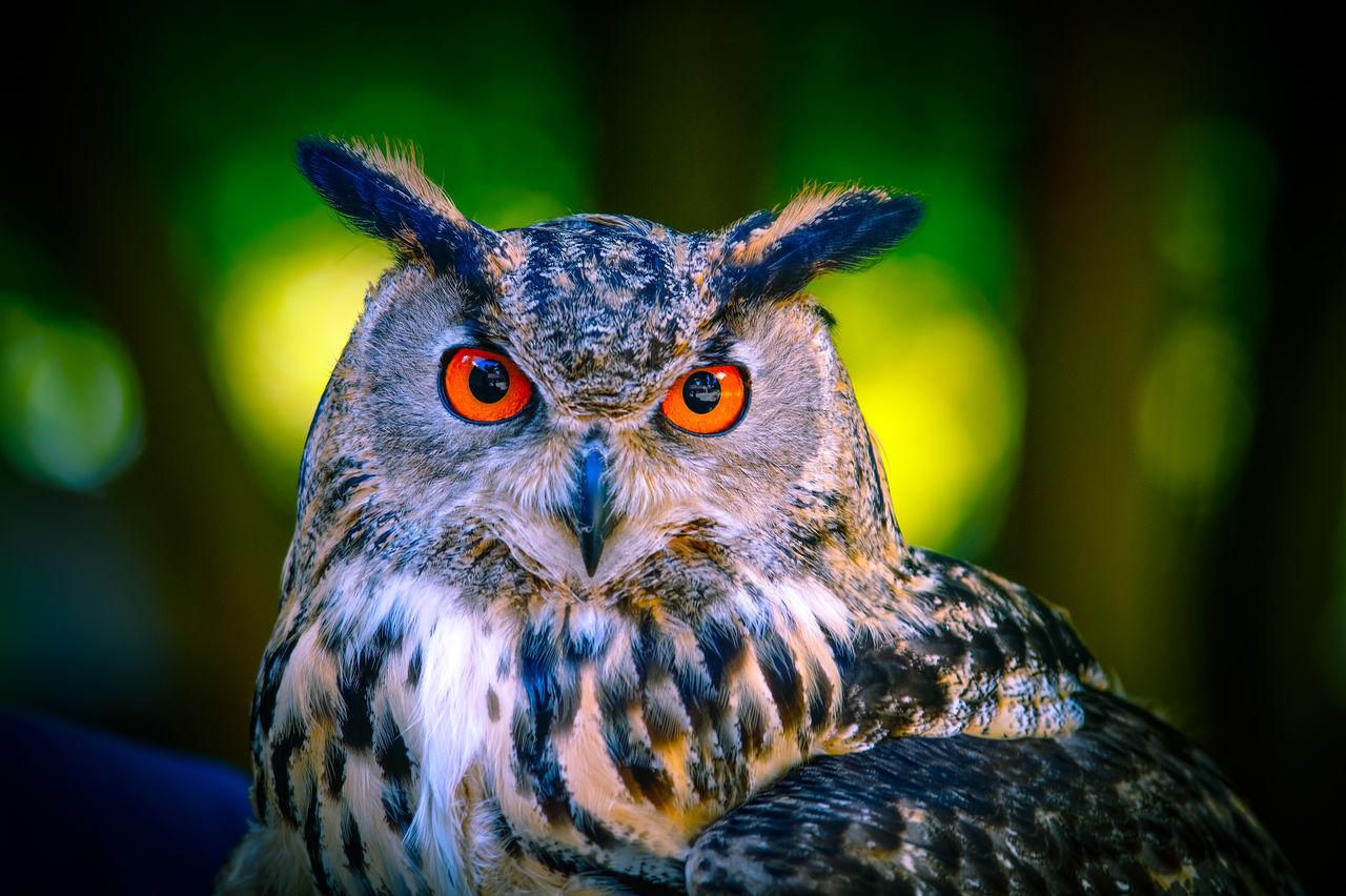 Beautiful stock photos of eule, Animal Eye, Animal Themes, Animal Wildlife, Animals In The Wild