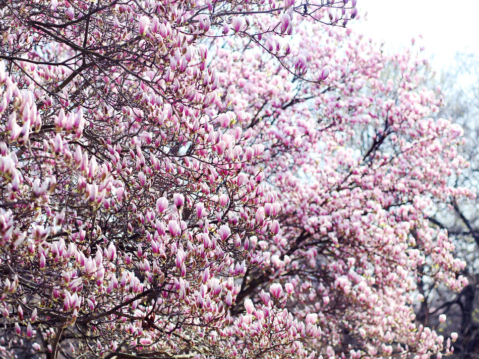 Beauty In Nature Close-up Day Flower Fragility Freshness Growth Magnolia Nature No People Outdoors Pink Color Sky Springtime Tree