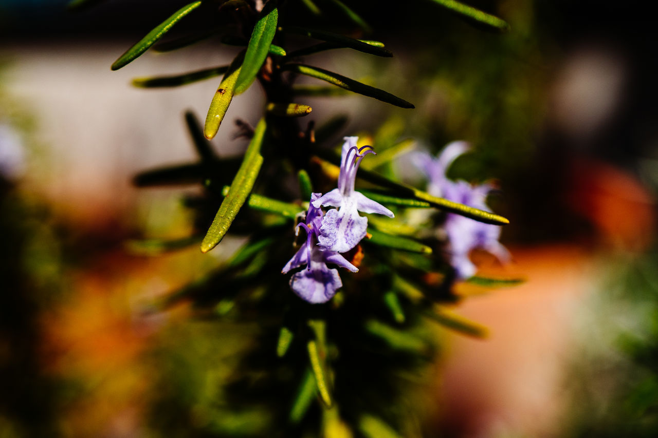 flower, growth, nature, purple, selective focus, beauty in nature, fragility, plant, no people, petal, close-up, day, outdoors, freshness, flower head