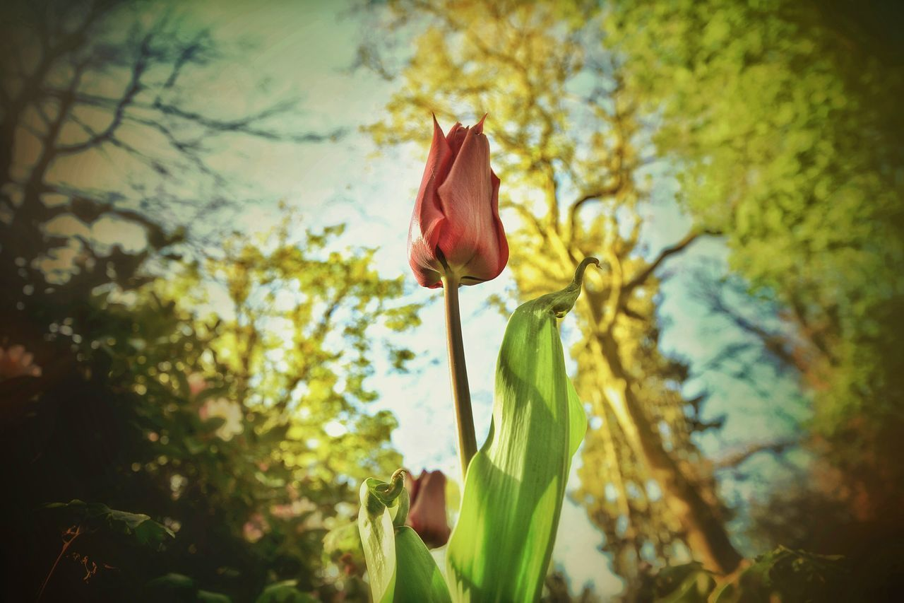 flower, nature, beauty in nature, growth, plant, petal, fragility, freshness, no people, outdoors, close-up, blooming, day, tree, sky