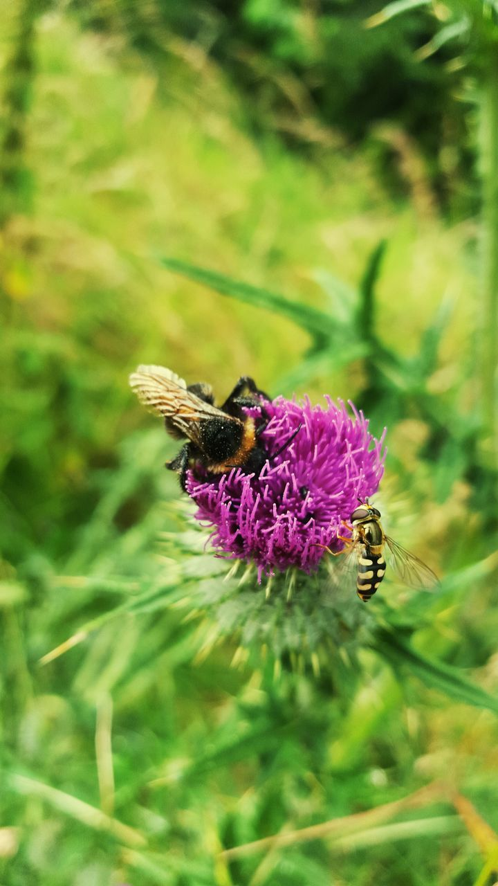 flower, one animal, animals in the wild, animal themes, growth, insect, nature, purple, fragility, pollination, beauty in nature, petal, plant, bee, symbiotic relationship, freshness, no people, day, animal wildlife, bumblebee, outdoors, flower head, close-up, blooming, thistle, buzzing