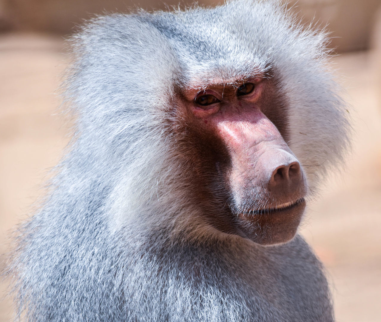 baboon Taking Photos Relaxing Check This Out Photography Learn & Shoot: Leading Lines تصويري  Animals Eyes الرياض تصويري_نيكون السودان Photographs Check This Out Baboon