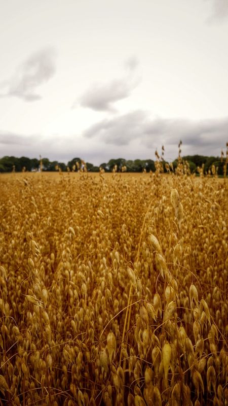 Agriculture Field Crop  Cloud - Sky Gold Colored Rural Scene Landscape Nature Outdoors Wheat Beauty In Nature Food Nature Beautiful Summertime Photography Photographer Nature Photography Field Of Wheat Outside Photography Landscape_photography Fields And Sky Tranquil Scene Tree Area Close-up