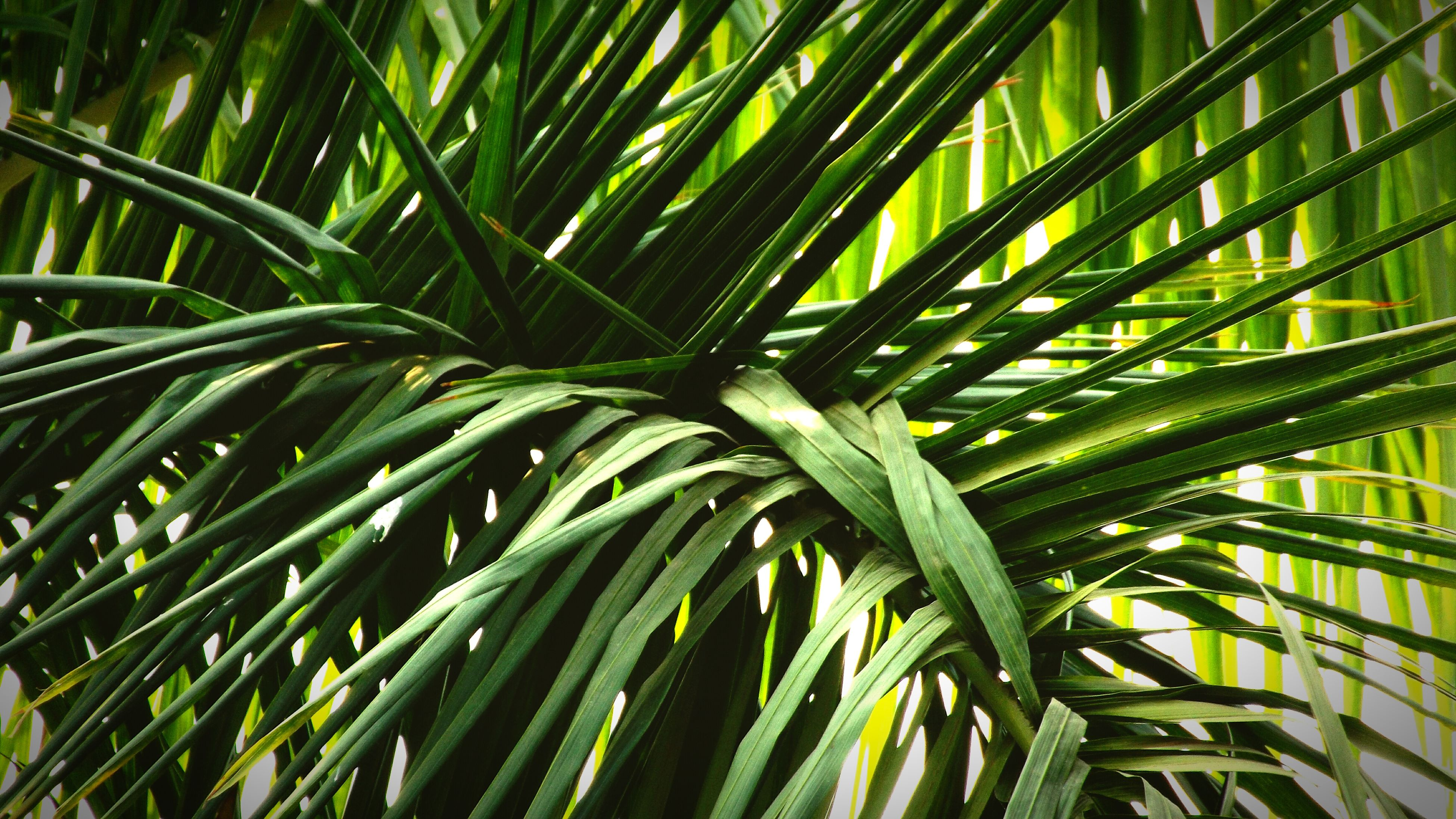 palm tree, growth, leaf, green color, palm leaf, nature, tree, plant, beauty in nature, low angle view, tranquility, full frame, day, backgrounds, leaves, outdoors, sunlight, close-up, green, no people