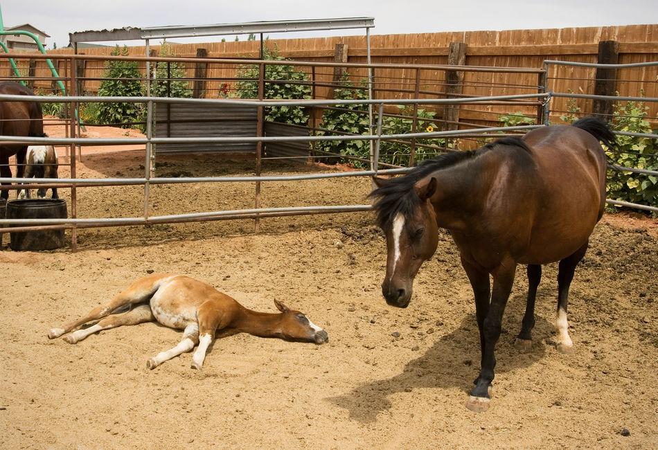 Sleepyhead Foalsforever Babies Of Eyeem Baby Animals Baby Horseys Baby Horse Farm Life Animals I'm So Tired Relaxing Asleep Snoozing Horses Horse Life Equines Of Eye Em