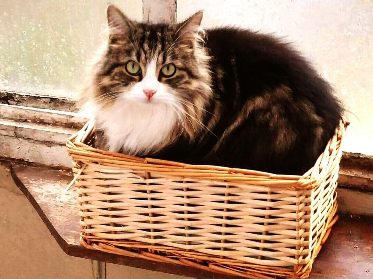 basket, domestic cat, pets, domestic animals, one animal, mammal, feline, animal themes, looking at camera, no people, sitting, outdoors, portrait, day