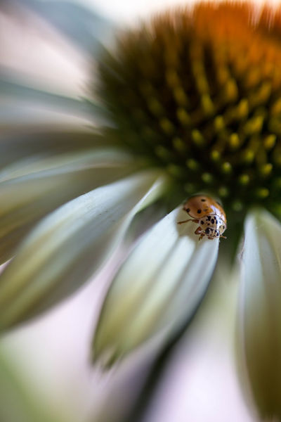 Ladybug Animal Themes Animal Wildlife Animals In The Wild Beauty In Nature Bee Close-up Day Flower Flower Head Fragility Growth Insect Nature No People One Animal Outdoors Passion Flower Petal Plant Pollen Pollination Selective Focus