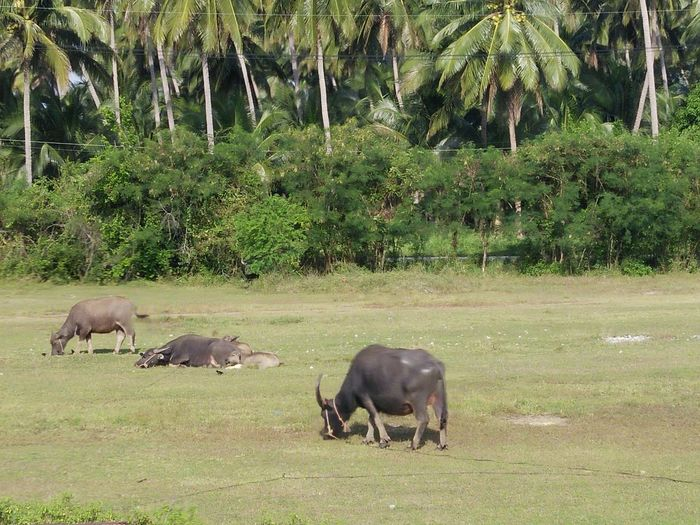 Travel Plant Thailand Background Buffalo Sky No People Nature Farm Country Thailand Travel Plam Plant Dry Day Outdoors South