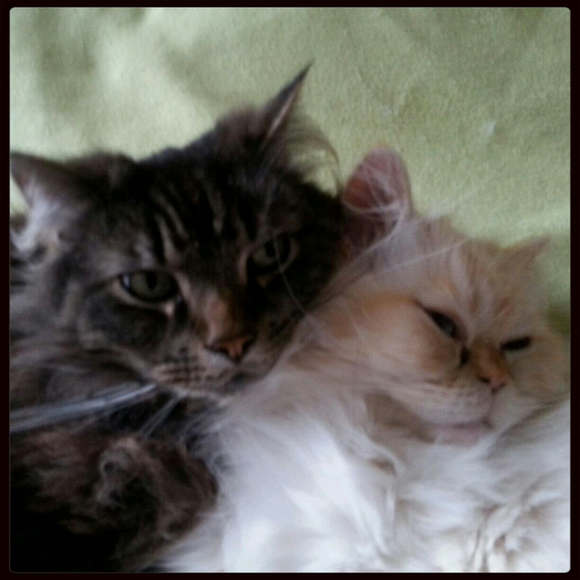 Arnhem Cats Catslover Best Mates
