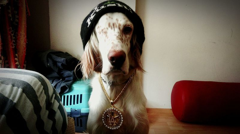 Arwen English Setter Dog Gangsta Cute First Eyeem Photo