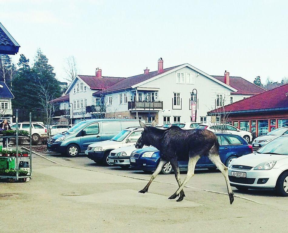 Animal Themes One Animal Animal Moose! Outdoors