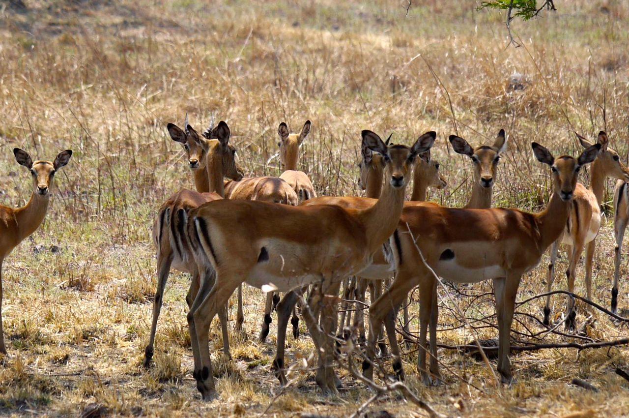 Africa African Bush Animal Animal Themes Herbivorous Herd Hoofed Mammal Impala Lily Mammal Nature Safari Standing Zambia Zoology