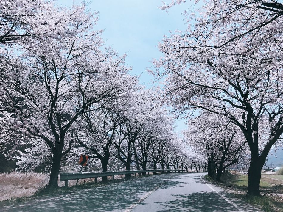 Cherry Blossoms Cherry Blossom Sakura Blossom Blooming Tree Nature Nature_collection Nature Photography Spring Spring Flowers Springtime Spring Has Arrived Scenery Scenery Shots Road Drive Driving Drivebyphotography Korea Korea Photos