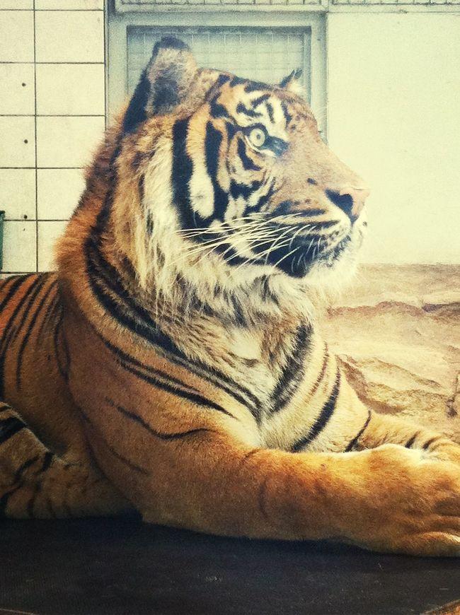 Tiger Cute Zoo