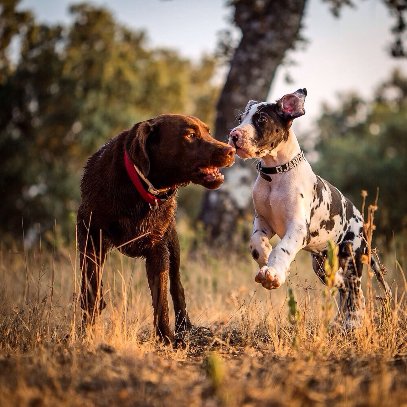 Our 2 pups. Indie the Lab and Django the greatdane. Dogs Enjoying Life My Dogs Are Cooler Than Your Kids Greatdane First Eyeem Photo