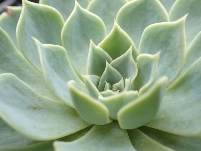 Echeveria Elegans Close-up Green Color Growth Nature Plant