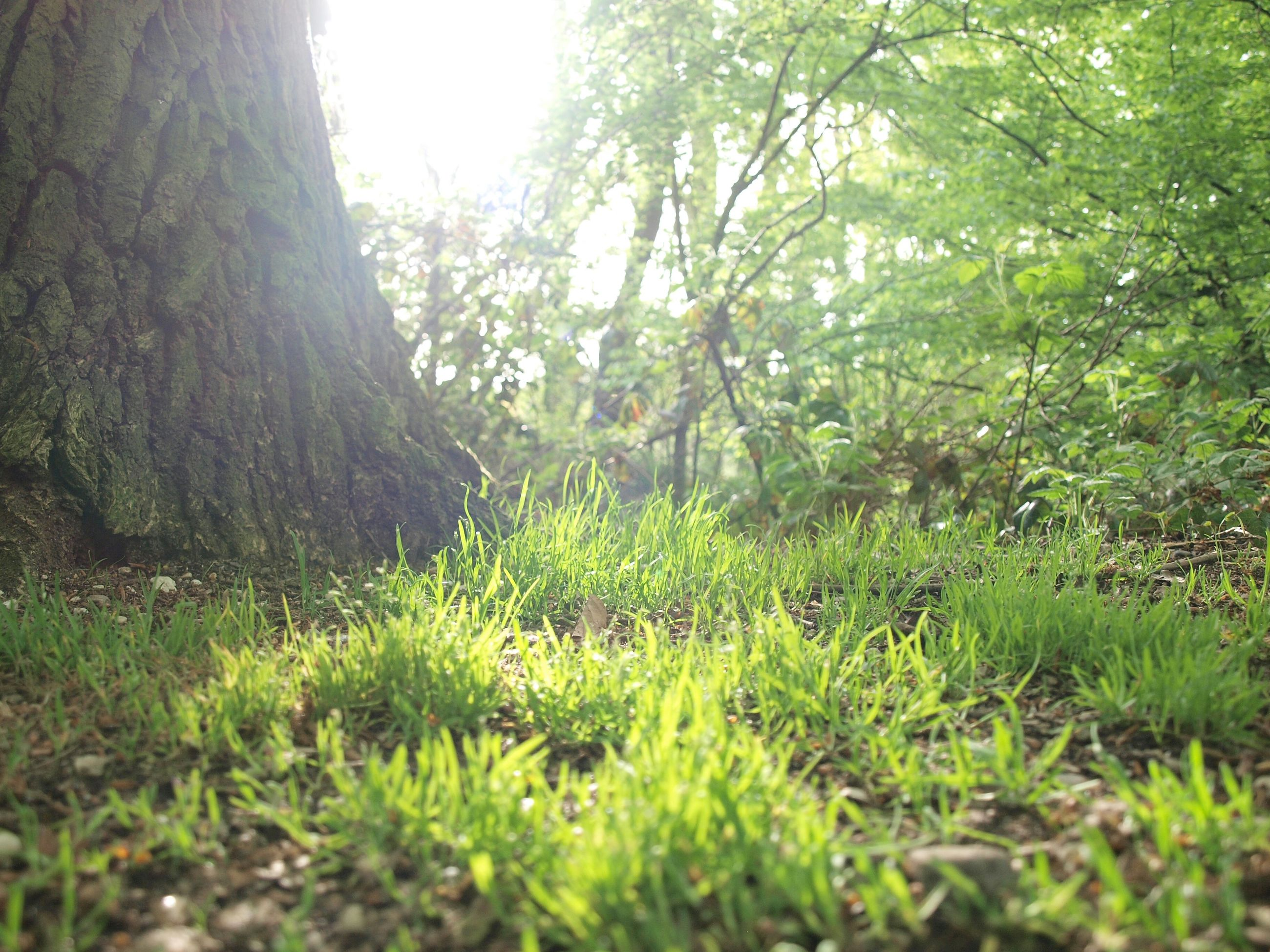 tree, growth, grass, green color, tranquility, sunlight, nature, field, beauty in nature, tranquil scene, plant, grassy, day, no people, clear sky, outdoors, green, landscape, selective focus, lens flare