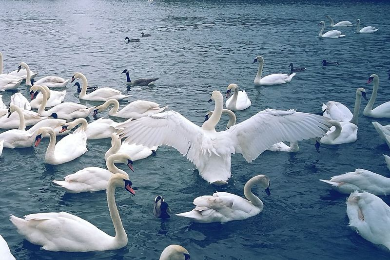 Swans Birds Photography Wings Spread Power In Nature Confidence  Birds Wings On The Water Whitebirds