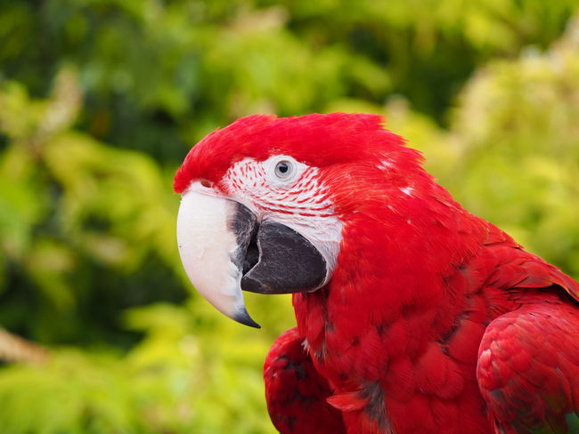 Bird Close-up Green Winged Macaw Macaw Macaw Parrot Nature Parrot Red