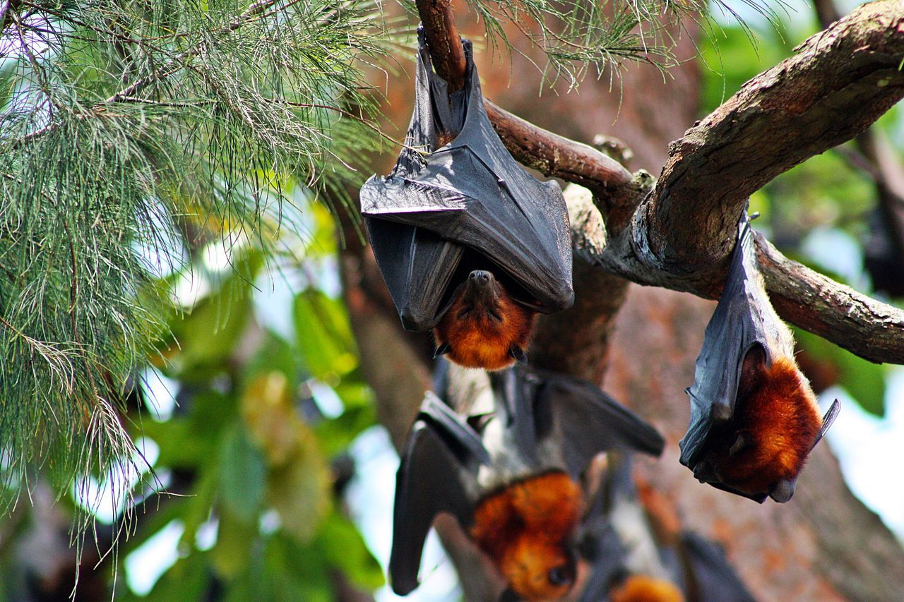 flying foxes slumber in sunlight, Tioman Island (Malaysia) ASIA Asian  Check This Out Close-up EyeEm Best Shots EyeEm Nature Lover Flughunde Flying Fox Hello World Hi! Malaysia Nature Nature Nature Photography Nature_collection Outdoor Photography The Great Outdoors - 2016 EyeEm Awards Tioman Tioman Island Tiomanisland Tree Tree Tropical Tropical Climate Tropical Paradise