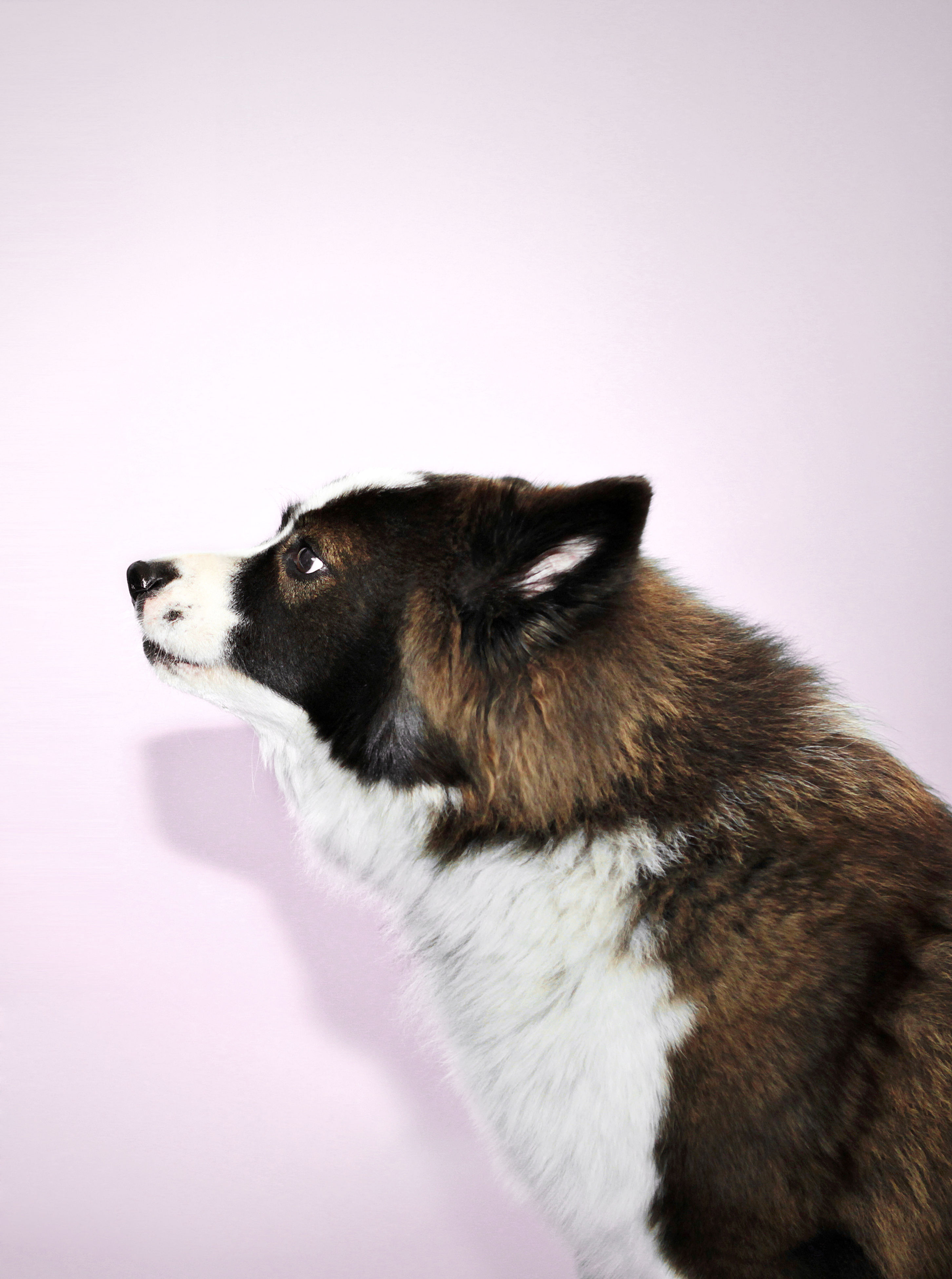 dog, pets, one animal, domestic animals, studio shot, animal themes, mammal, side view, white background, no people, portrait, close-up, day