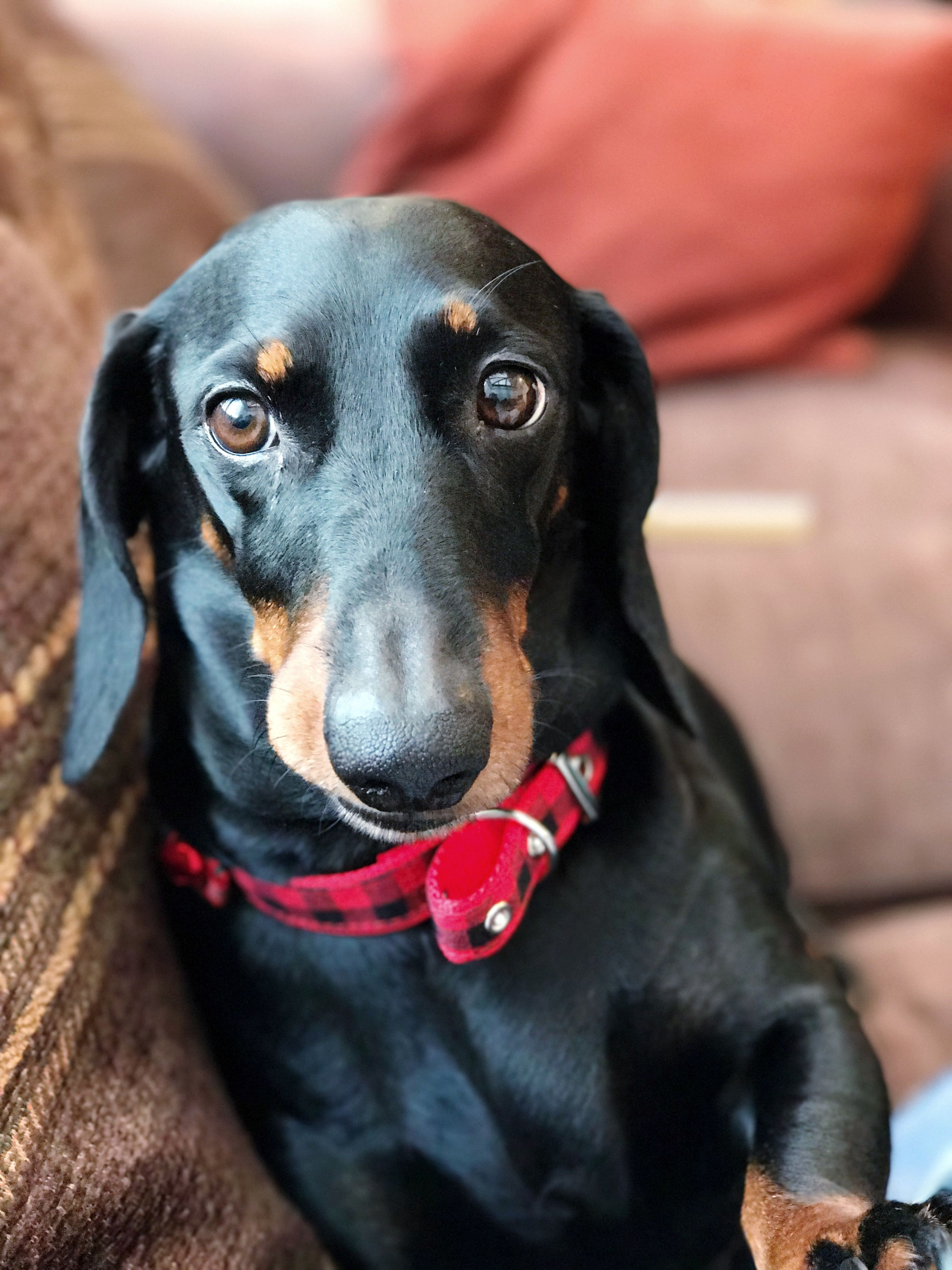 pets, dog, one animal, domestic animals, mammal, animal themes, close-up, black color, portrait, no people, black labrador, day, dachshund, pet clothing, outdoors
