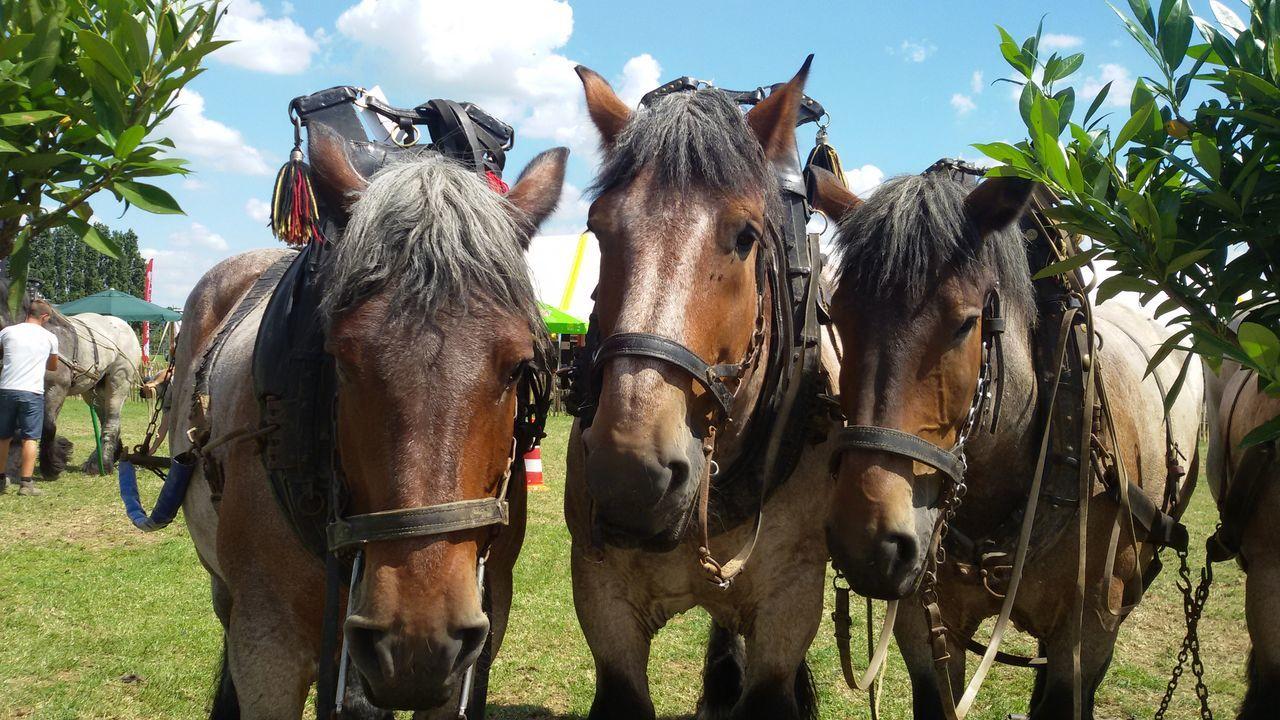 Belgische Trekpaarden Belgium Horses Belgium Horses Trekker Trek Zware Paarden No People Koudbloed