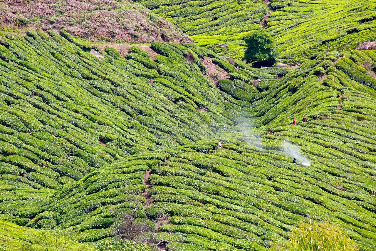 Scenic View Of Tea Plantation At Cameron Highlands