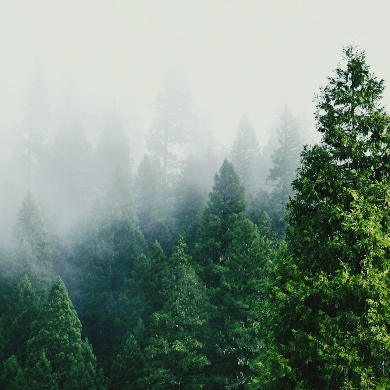 Northern California Fog Forest Landscape Mountain California Dreaming