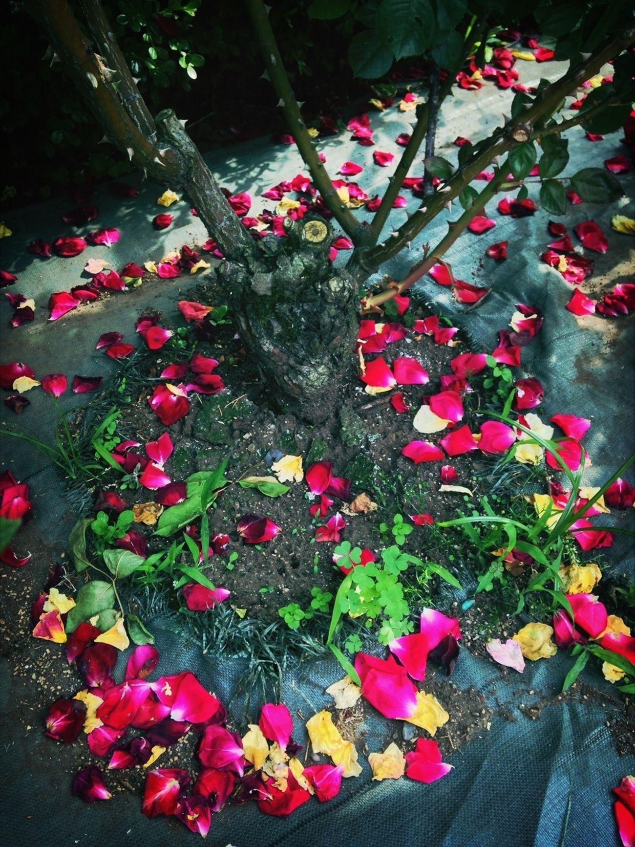Flower Rosé Petal Of Rose
