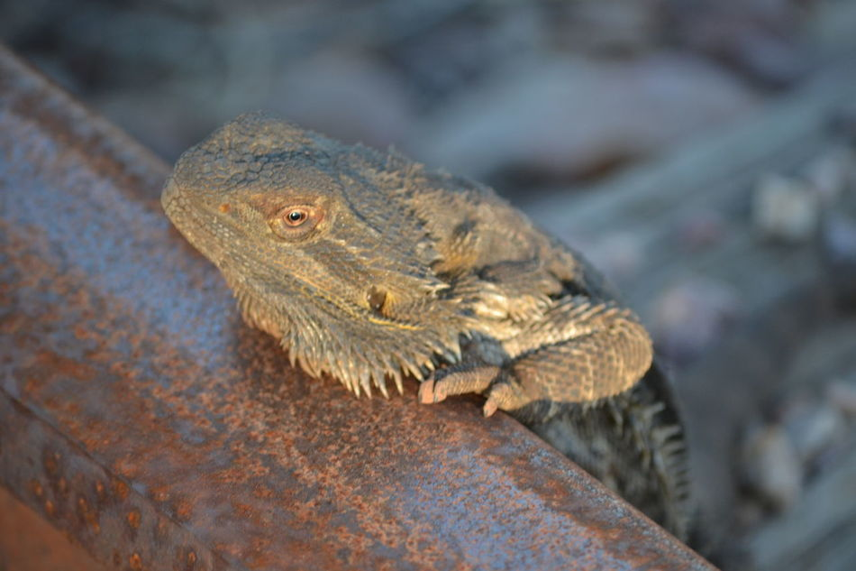 Animal Themes Animals In The Wild Bearded Dragon Close-up Lizard No People One Animal Outdoors Reptile