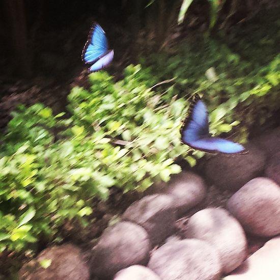Blue Morpho Costa Rica Motion Blur GALAXY S4