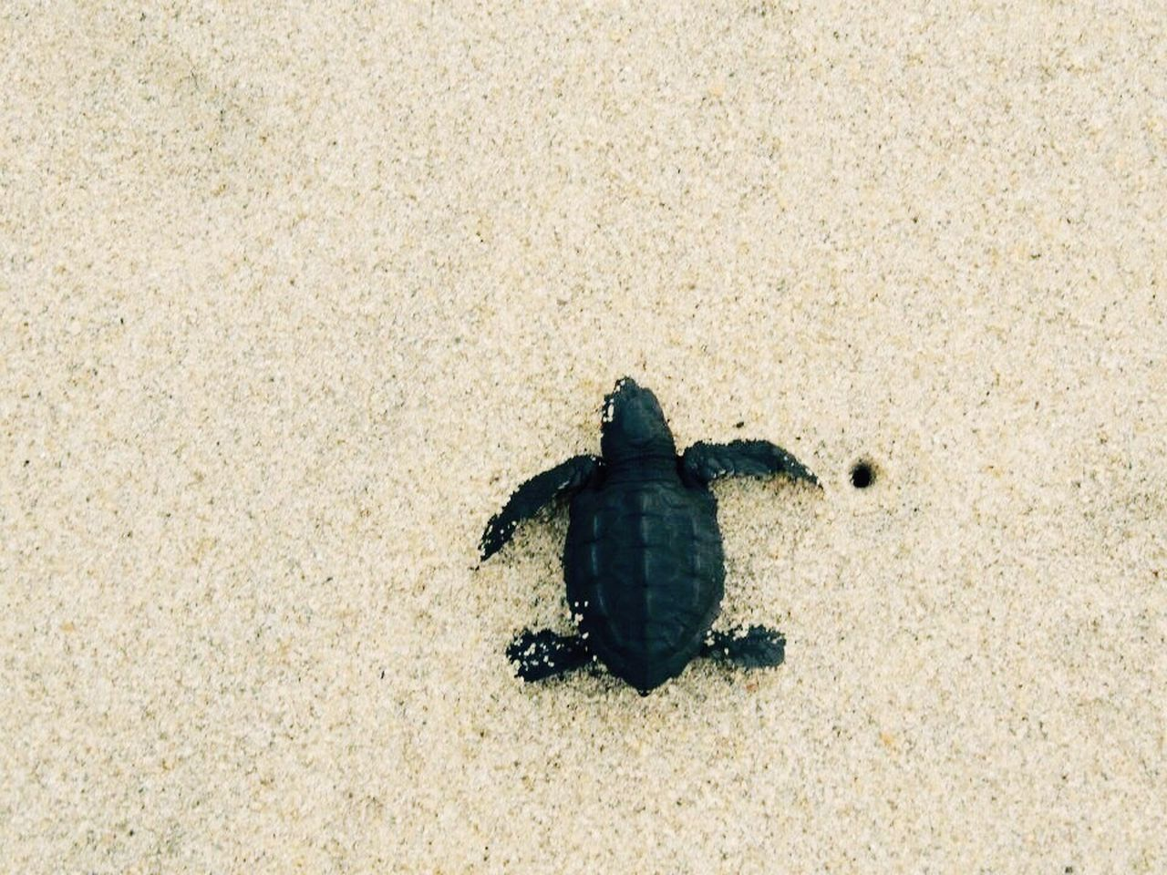 Animal Themes Animals In The Wild Sand One Animal High Angle View Beach Outdoors Animal Wildlife No People Nature Day Sea Life Close-up Sea Turtle Beauty In Nature Turtle Beachphotography