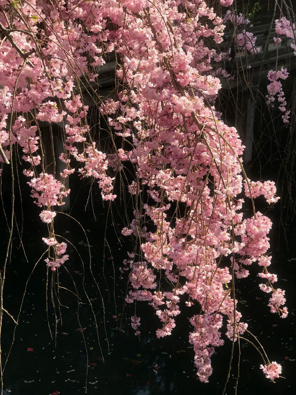 Pink Cherry Blossoms Over Pond