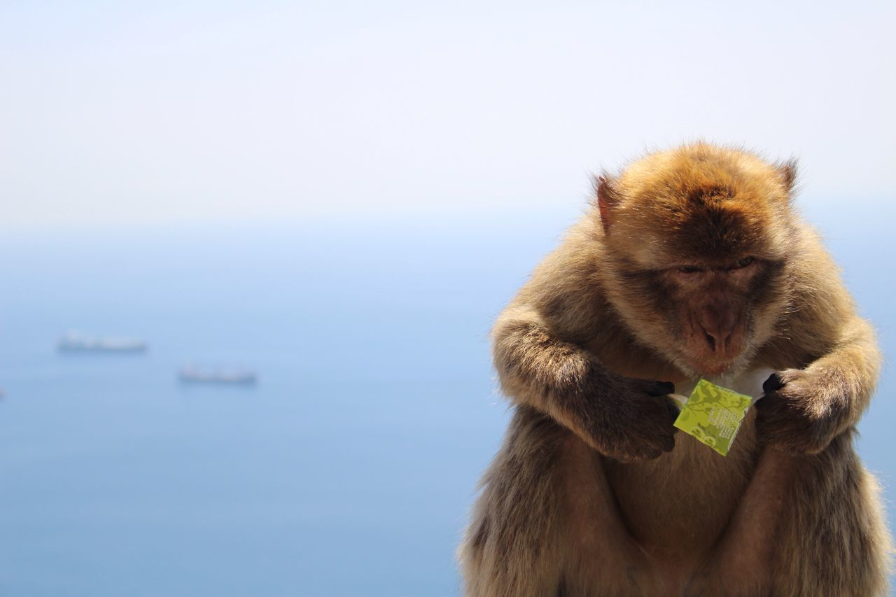 Beautiful stock photos of monkey,  Animal Wildlife,  Animals In The Wild,  Close-Up,  Copy Space