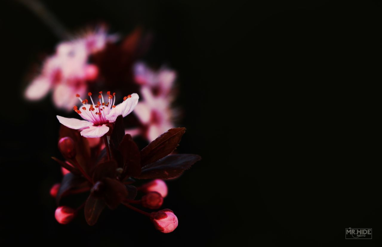 flower, fragility, petal, beauty in nature, freshness, flower head, growth, nature, pink color, close-up, black background, blooming, no people, plant, night, outdoors, periwinkle