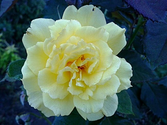 Yellow Rose:after the storm.photo by Shell Sheddy Shellsheddyphotography Sheshephoto Rose🌹 Floral Flower Power Yellow Rose
