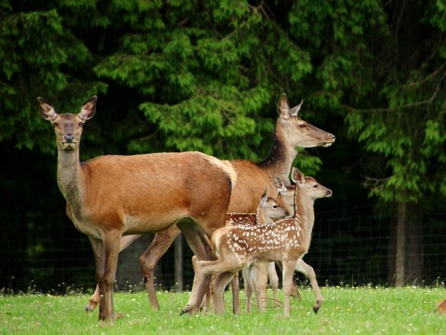 Animal Wildlife Grass Animals In The Wild Animal Mammal Eating Animal ThemesDomestic Animals Sauerland Beauty In Nature Looking At Camera Tree Full Length Outdoors No People Day Nature Wind Instrument Young Animal