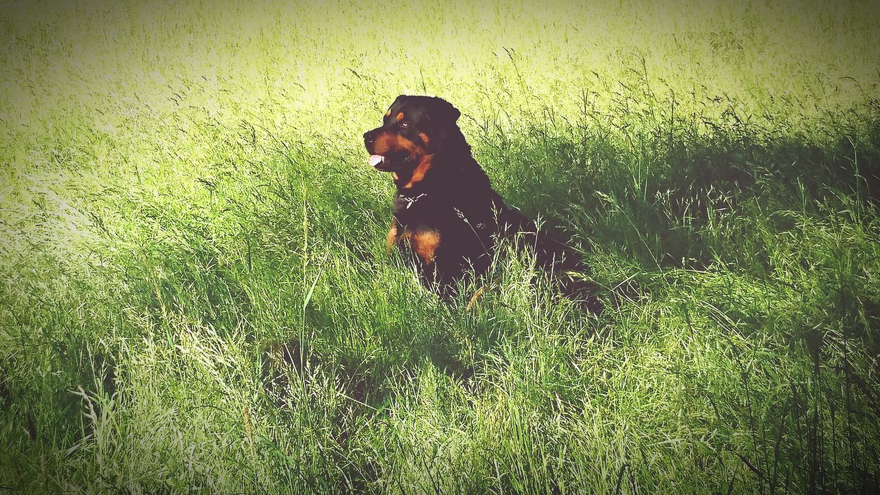 dog, grass, domestic animals, pets, animal themes, one animal, mammal, field, nature, growth, no people, green color, outdoors, day