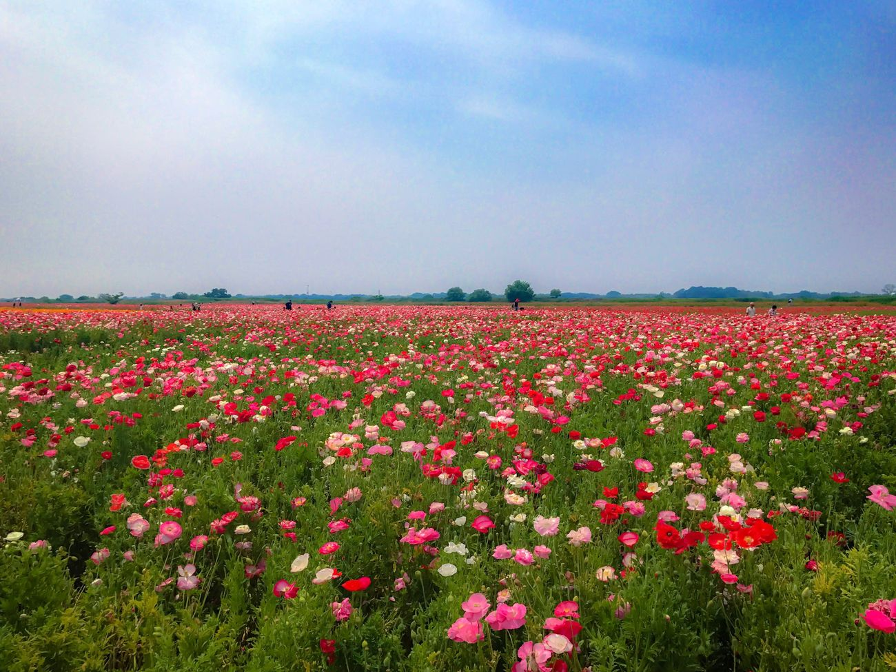 Embraced by flowers Landscape Flowers Nature Field Flower Growth Beauty In Nature Tranquility Tranquil Scene Sky Scenics Outdoors Freshness Rural Scene Poppy Flowerlovers Landscape_Collection Enjoying Nature