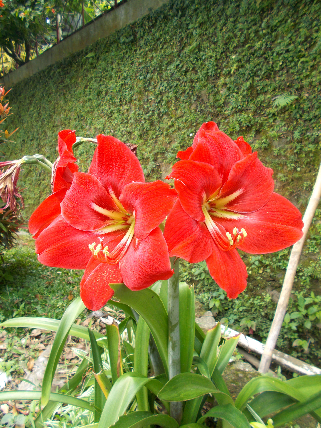 Amaryllis red beauty flower on the garden Amaryllis Amaryllis Belladonna Amaryllis Flower Amaryllis In Bloom Amaryllis Red Flower White Rock Beauty Beauty In Nature Blooming Day Day Lily Flower Flower Head Fragility Freshness Garden Green Color Leaf Nature No People Outdoors Petal Plant Red