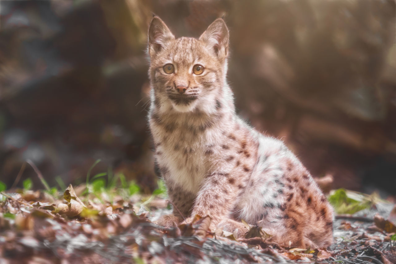 Animal Themes Attraction Bavaria Bobcat Bobcats Cute Day Domestic Animals Domestic Cat Feline Hunter Lohberg Looking At Camera Mammal Nature No People One Animal Outdoors Park Pelt Pets Portrait Sitting Young Animal Zoology