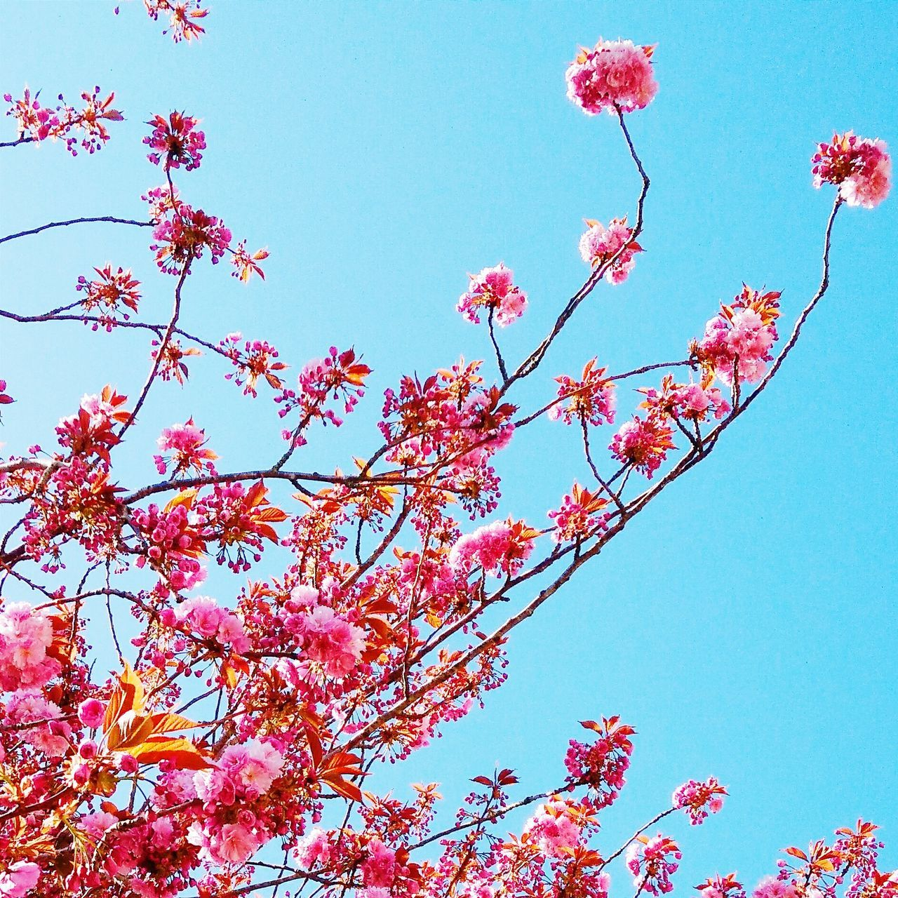 Japanese Cherry Tree. Japanese Cherry Blossoms Flower Pink Flower Nature